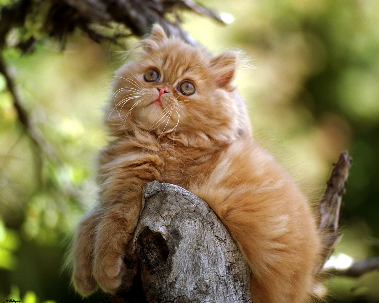 Care of a persian cat